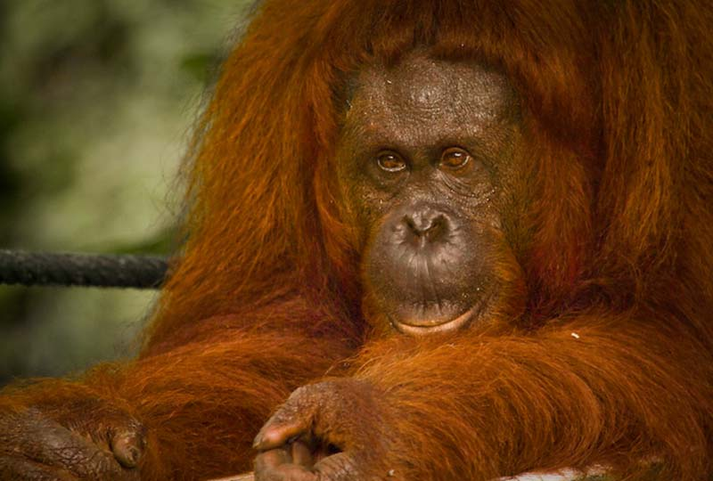Delima ruht sich aus, Semenggoh Wildlife Centre, Malaysia