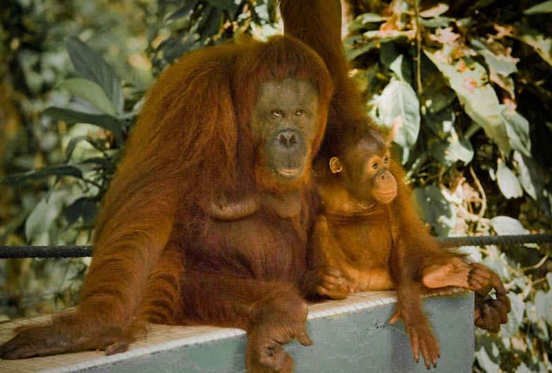 Delima und Selina beobachten die Besucher, Semenggoh Wildlife Centre, Malaysia