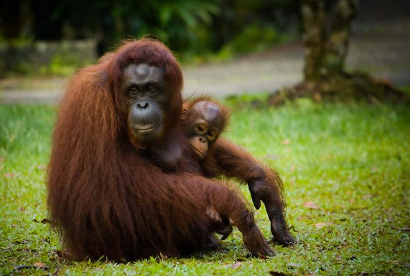 Delima und Selina warten auf das Essen, Semenggoh Wildlife Centre, Malaysia