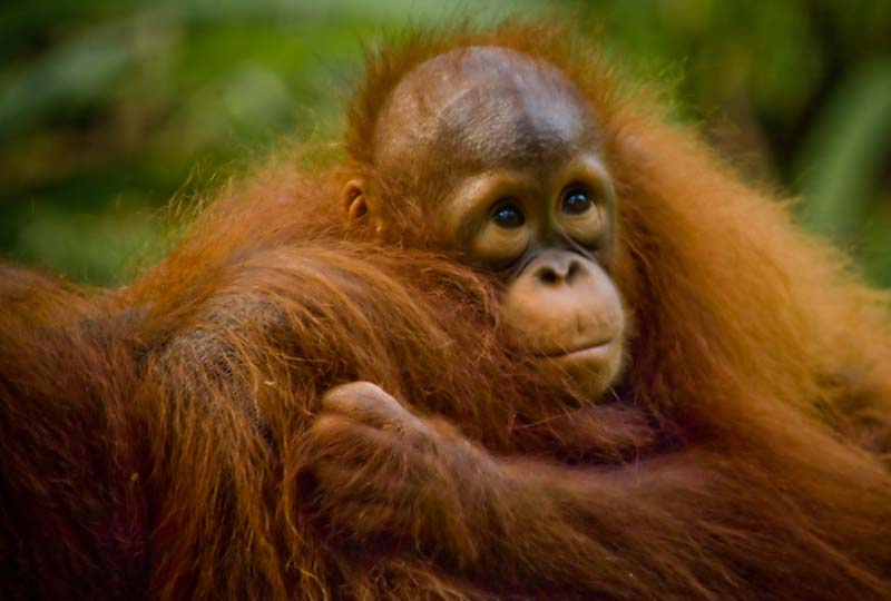 Orang Utan Baby Selina, Semenggoh Wildlife Centre, Malaysia