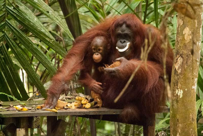 Semenggoh Wildlife Centre - Fütterung Orang Utans
