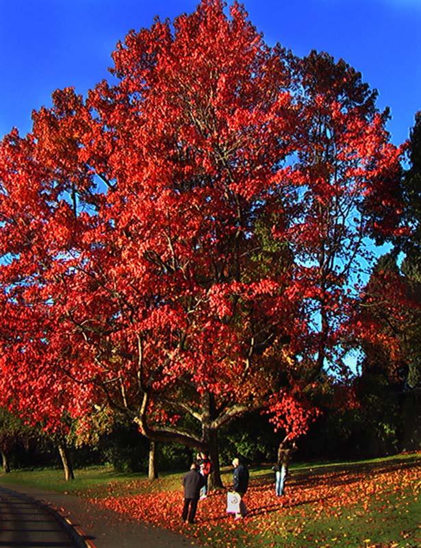 A-Horn Baum mit rotem Blattwerk, Vancouver, British Columbia, Kanada