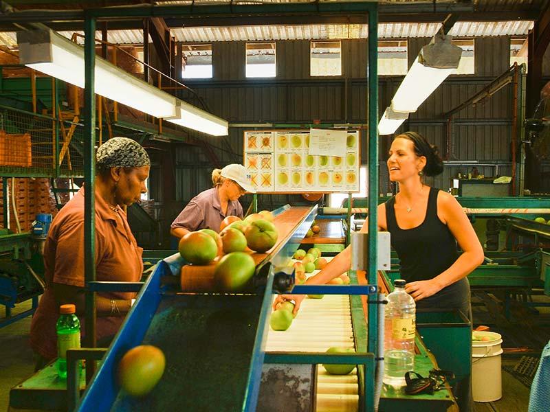Mango Grader in Ayr, Australien