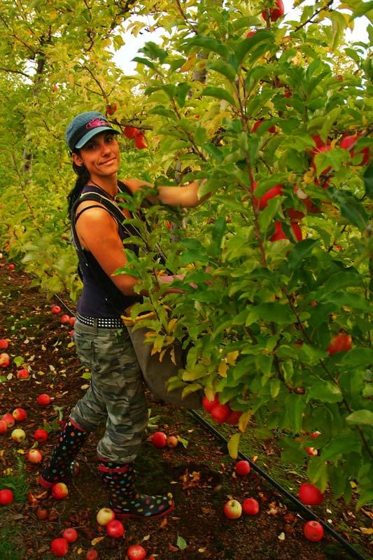 Anne pflückt Äpfel