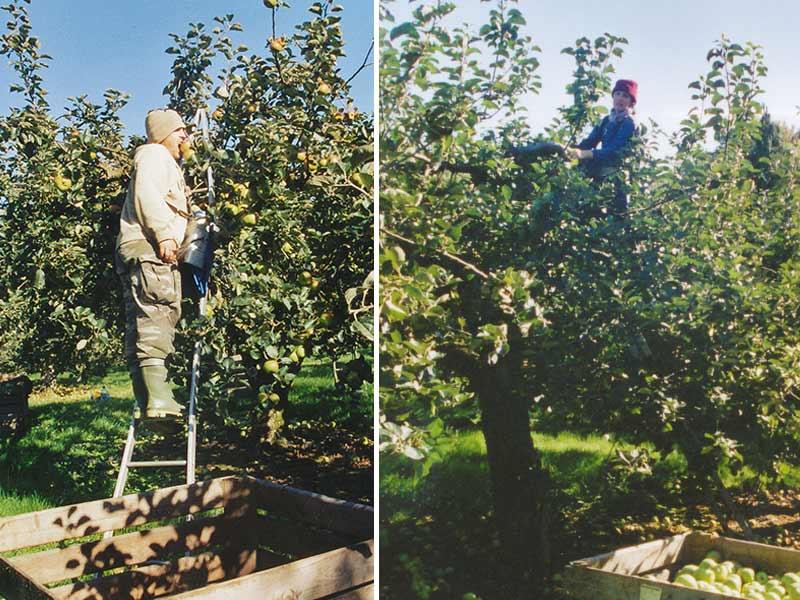 Apfelpflücken in Irland