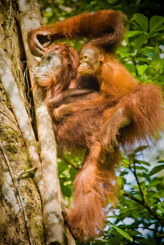 Ausruhen am Baum, Semenggoh Wildlife Centre, Malaysia