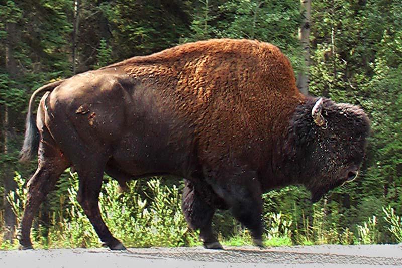 Bison, Yukon, Kanada