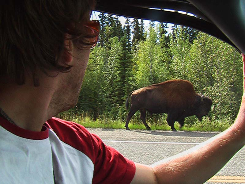 Bison auf Bunkis Seite, irgendwo im Yukon, Kanada