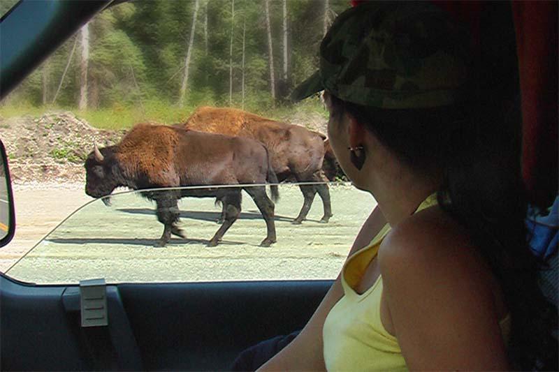 Bisons auf Annes Seite, irgendwo im Yukon, Kanada