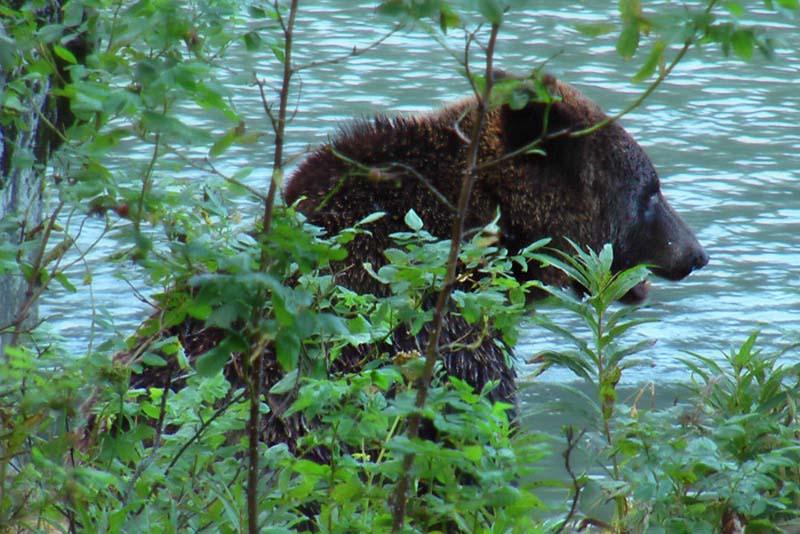 Braunbär beim Lachsfressen, Haines, Alaska, USA