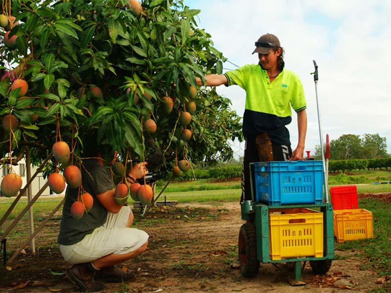 Bunki filmt Hoyt bei der Mangoernte in Mareeba, Queensland