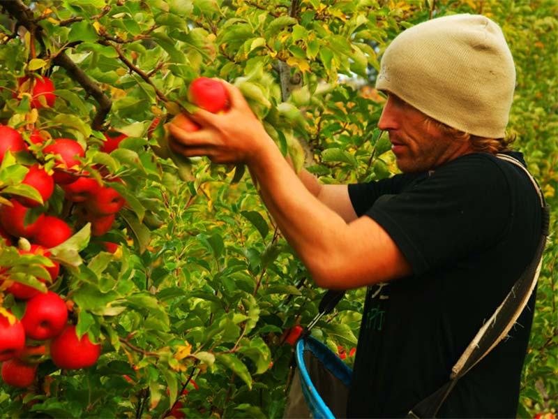 Bunki pflückt Äpfel