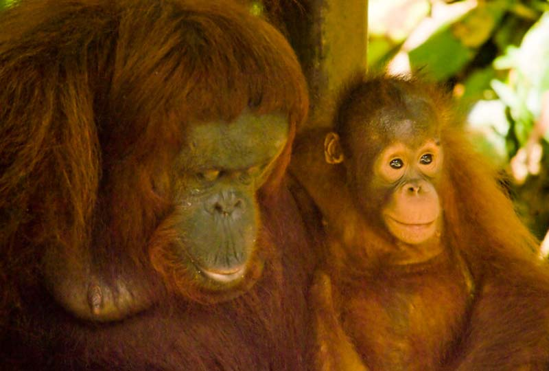 Delima und Selina, Semenggoh Wildlife Centre, Malaysia