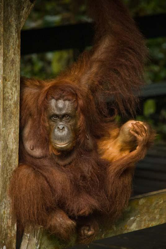 Delima und Selina auf der Plattform, Semenggoh Wildlife Centre, Malaysia
