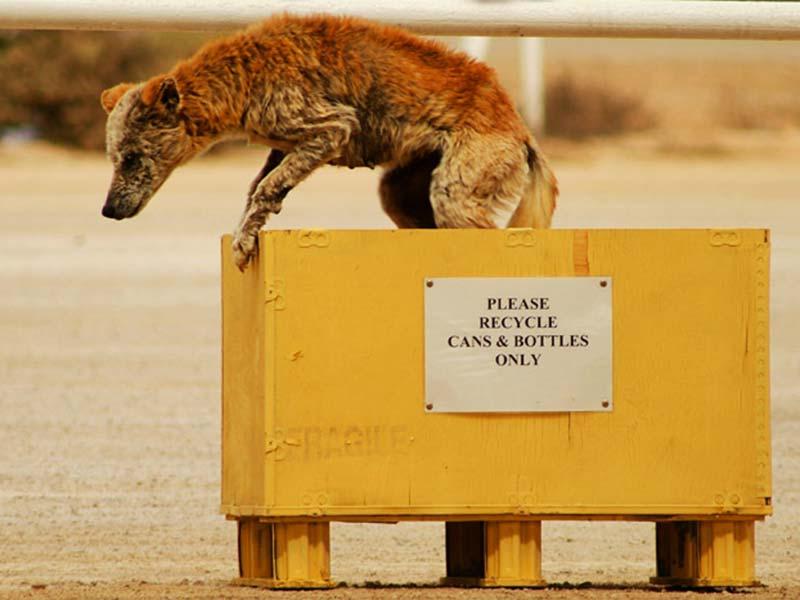 Dingo springt aus der Box