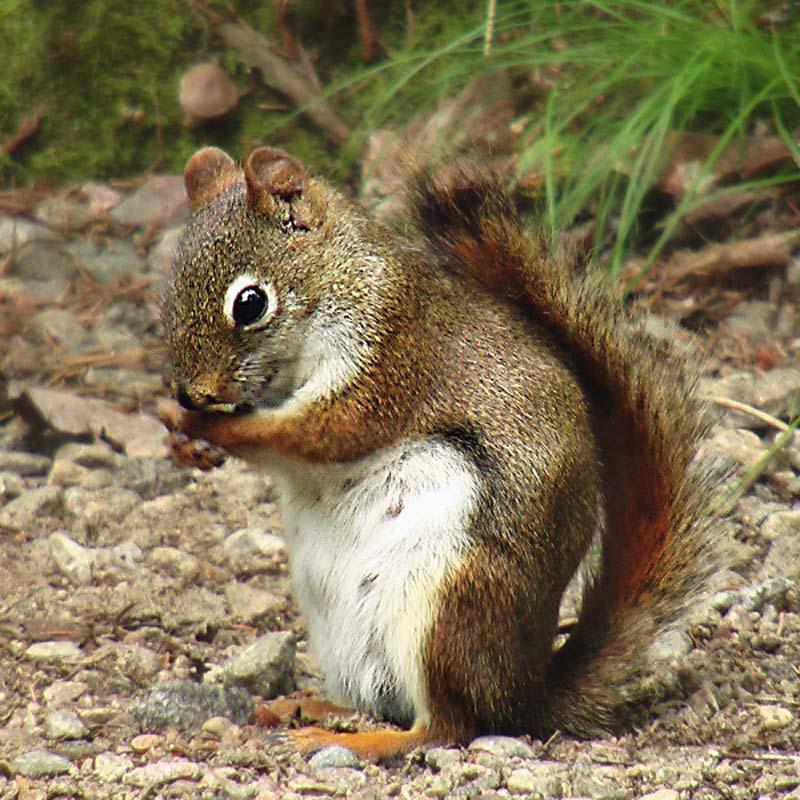 Eichhörnchen, Kanada