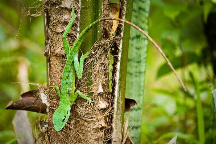 Ein Gecko, Mulu Nationalpark, Borneo, Malaysia