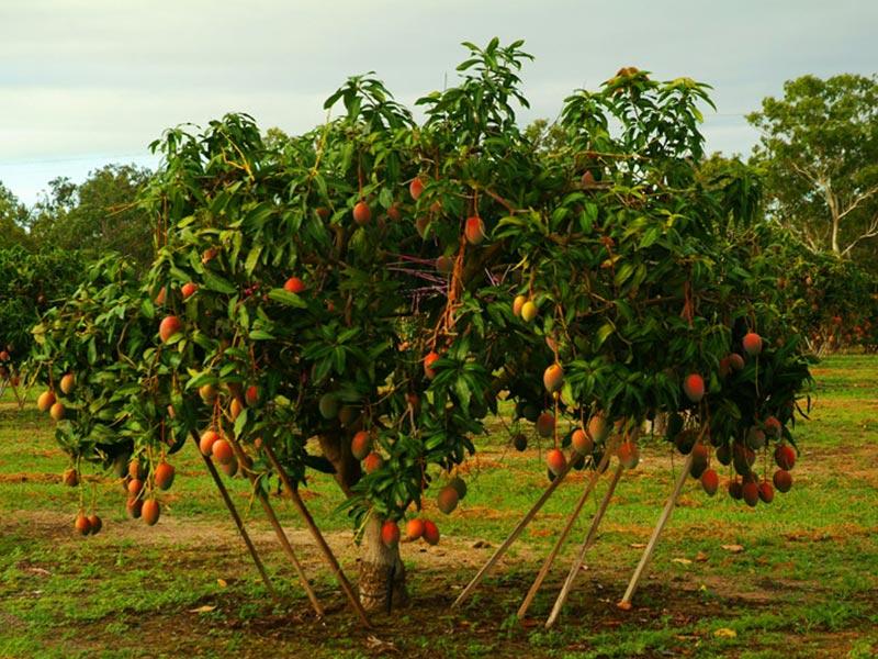 Ein Mangobaum