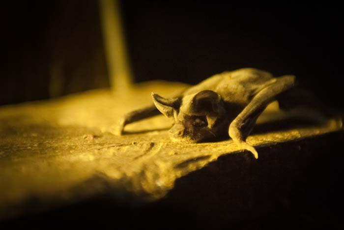 Eine Fledermaus fiel herunter, Mulu, Borneo Malaysia