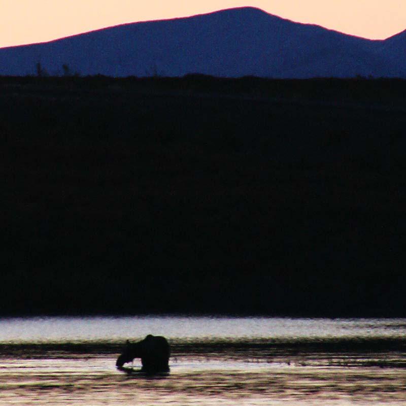 Elch beim Fressen vor dem Sonnenuntergang, Yukon, Kanada