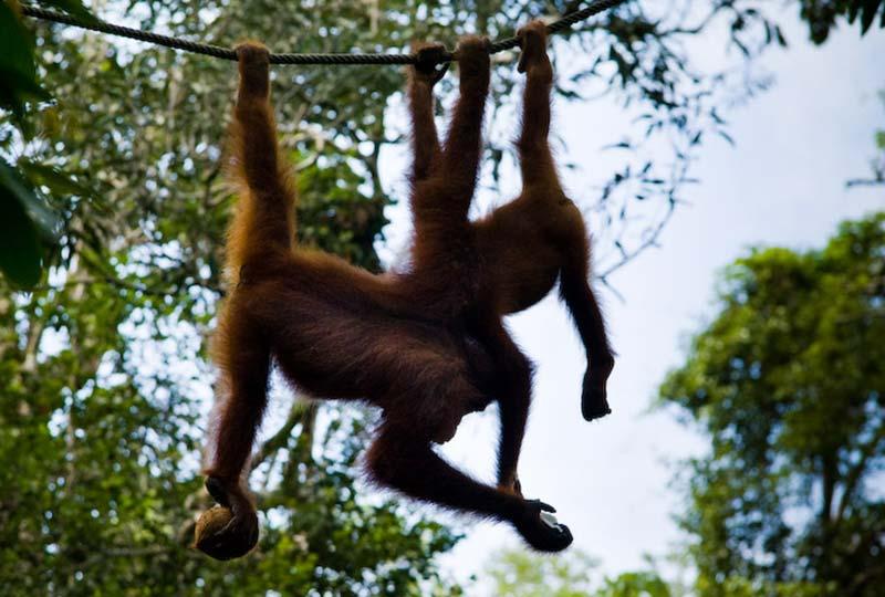 Entspanntes Schwingen am Seil, Semenggoh Wildlife Centre, Malaysia