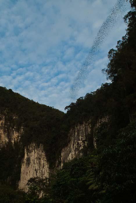 Fledermäuse kommen aus der Höhle, Mulu, Borneo Malaysia