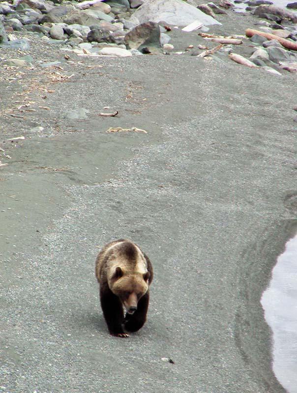 Grizzly, Kanada