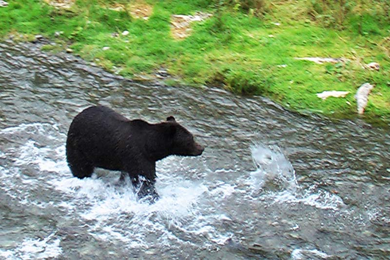 Grizzly beim Lachsfang, Alaska, USA