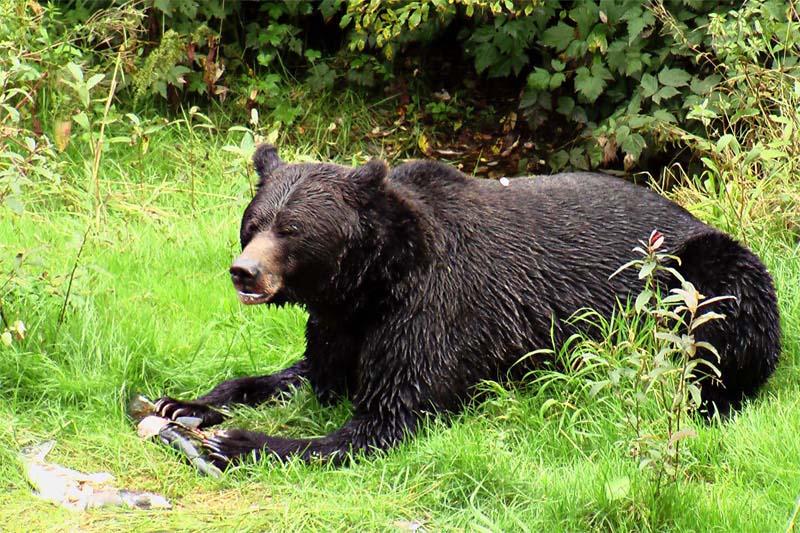 Grizzly beim Lachsfressen, Alaska