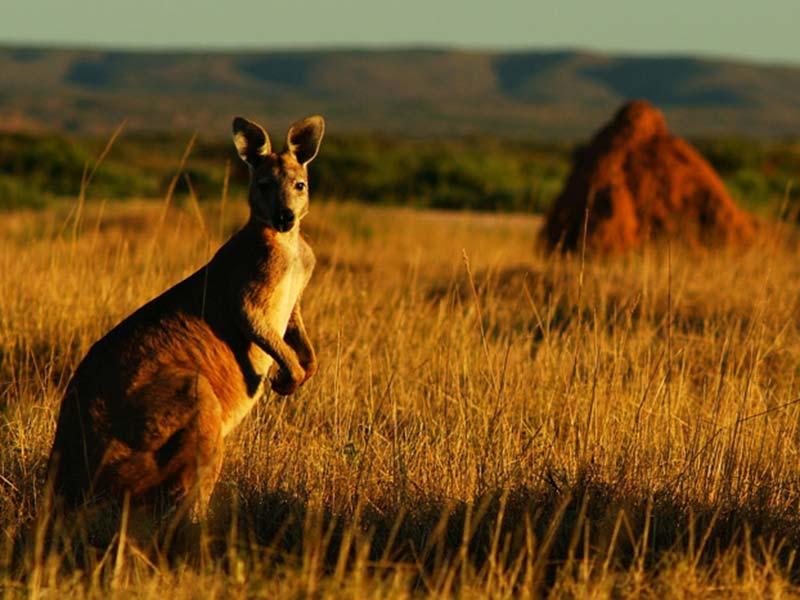Känguru vor einem Termitenhügel