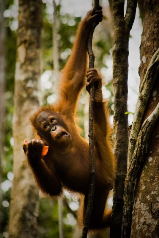 Kleiner Orang Utan beim Essen im Baum, Semenggoh Wildlife Centre, Malaysia