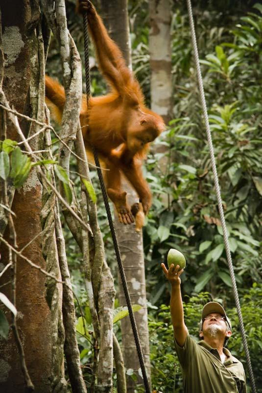 Kleiner Orang Utan nimmt sich Essen, Semenggoh Wildlife Centre, Malaysia