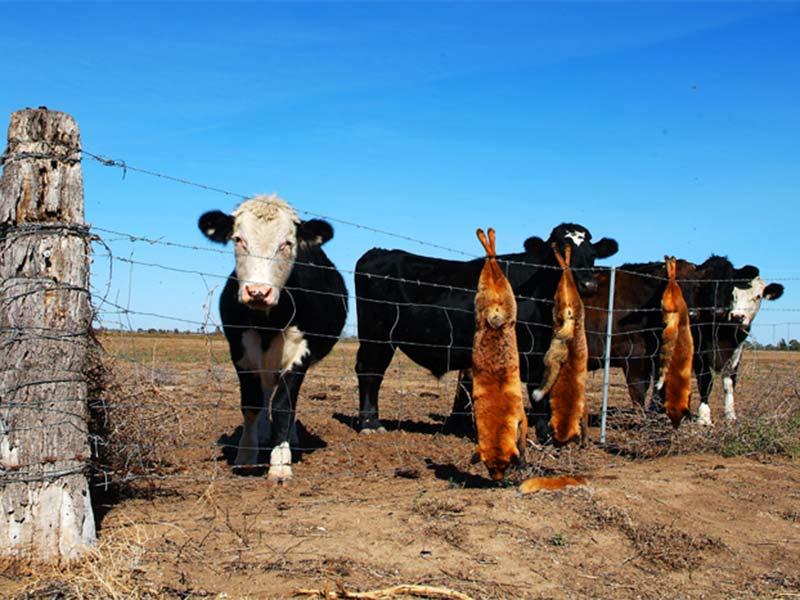 Kühe und tote Dingos im Outback