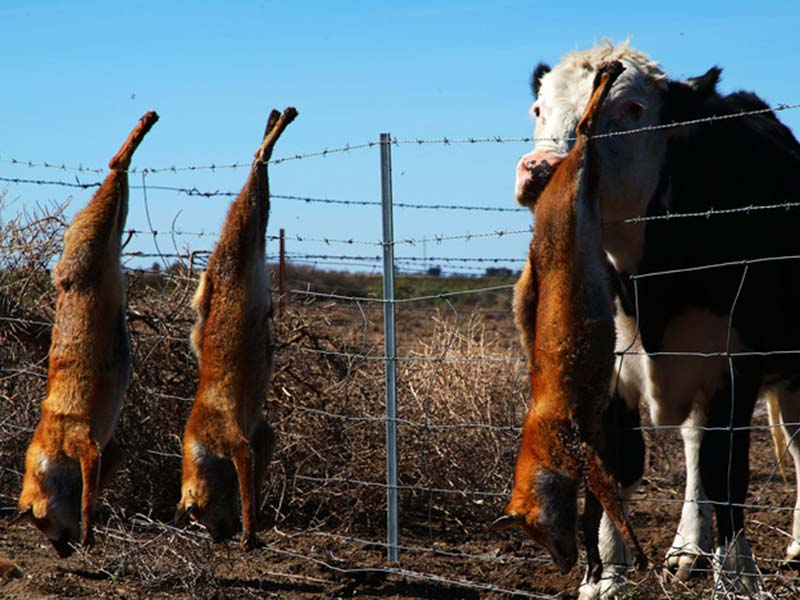 Kuh leckt an toten Dingos