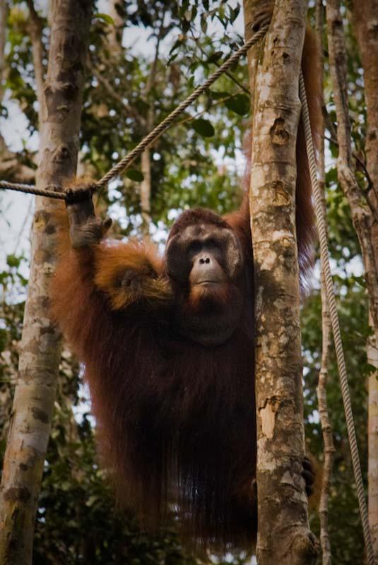 Maennchen Richie beobachtet die Besucher, Semenggoh Wildlife Centre, Malaysia