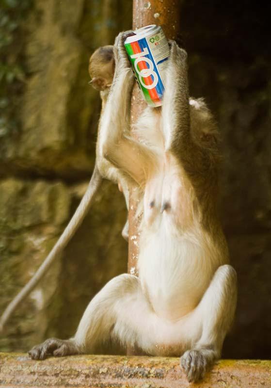 Makaken Affe trinkt geklaute Limonade, Kuala Lumpur, Malaysia