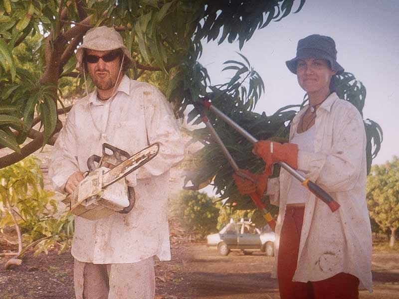Mangos Pflücken bei Darwin