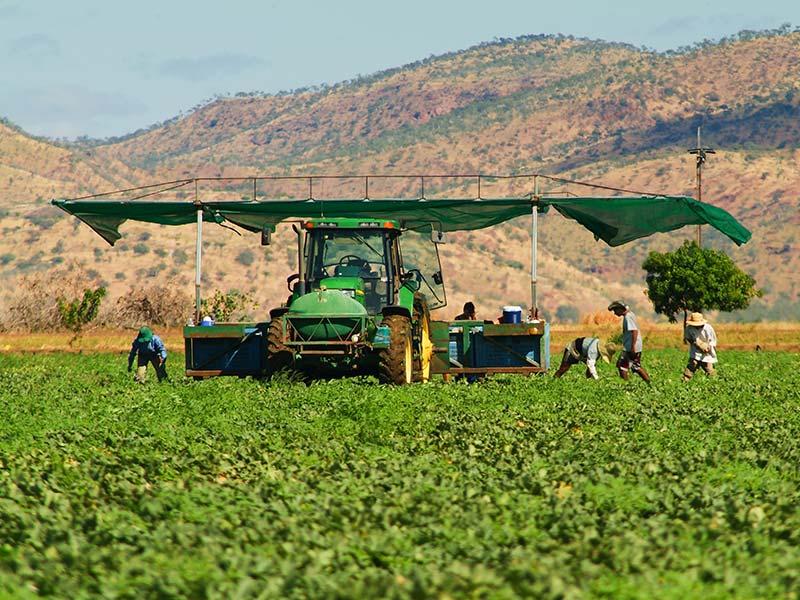 Melonenernte, Australien