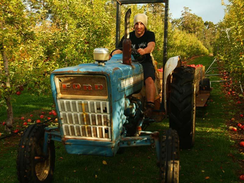 Munjimup, Apfelernte, Bunki auf dem Traktor