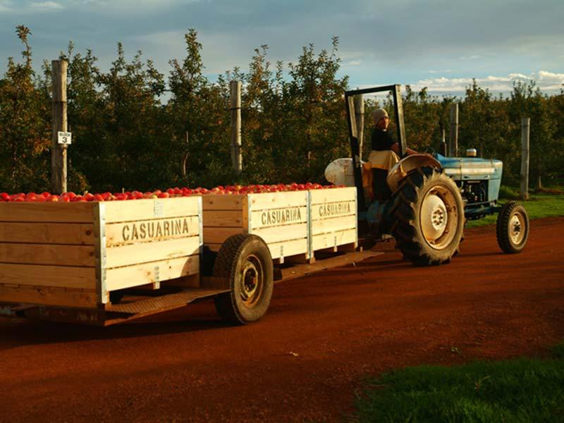 Munjimup, Apfelernte, Bunki fährt volle Kisten weg