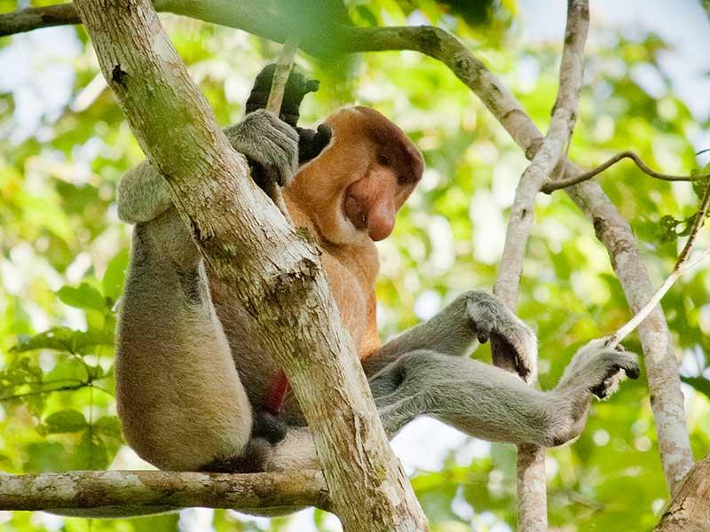 Nasenaffe im Busch Borneos