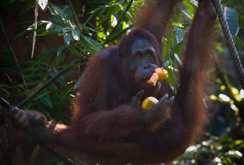 Orang Utan im Spagat, Semenggoh Wildlife Centre, Malaysia