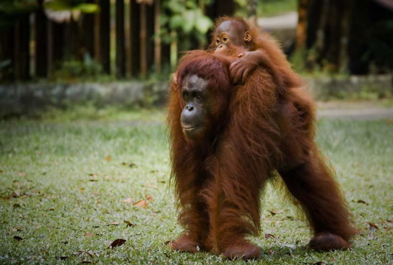 Orang Utans Delima und Selina, Semenggoh Wildlife Centre, Malaysia