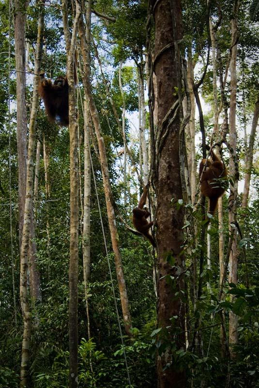 Orang Utans in den Bäumen, Semenggoh Wildlife Centre, Malaysia
