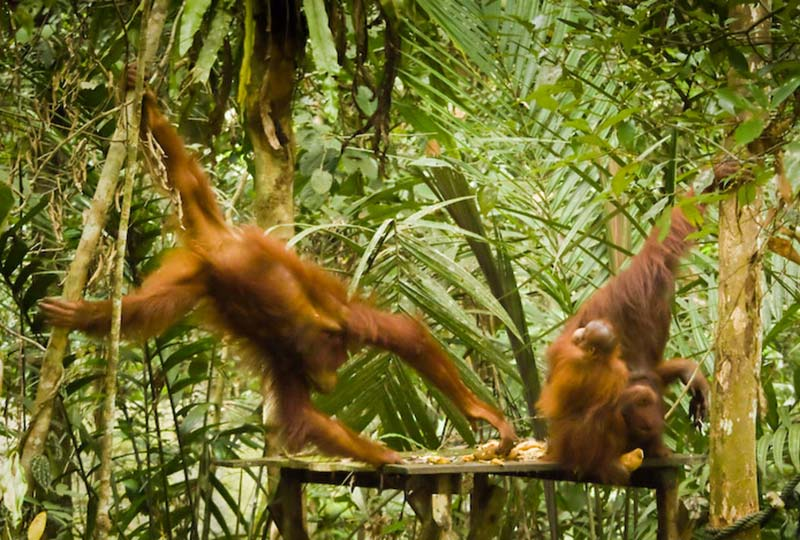 Ornag Utan nimmt sich Essen von der Palttform, Semenggoh Wildlife Centre, Malaysia