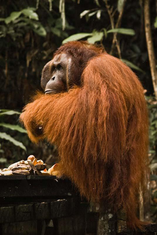 Richie beim Essen, Semenggoh Wildlife Centre, Malaysia