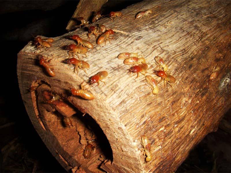 Termiten bei der Arbeit