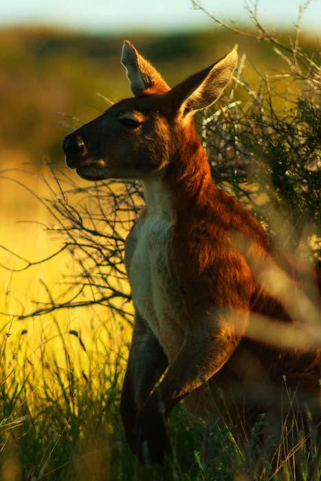 riesiges Känguru