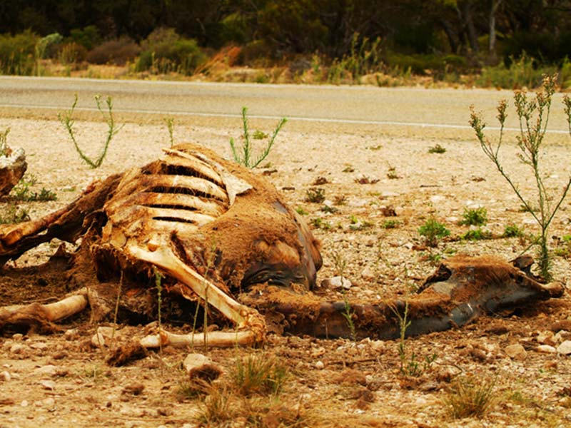 Totes Kamel am Straßenrand der Nullarborwüste