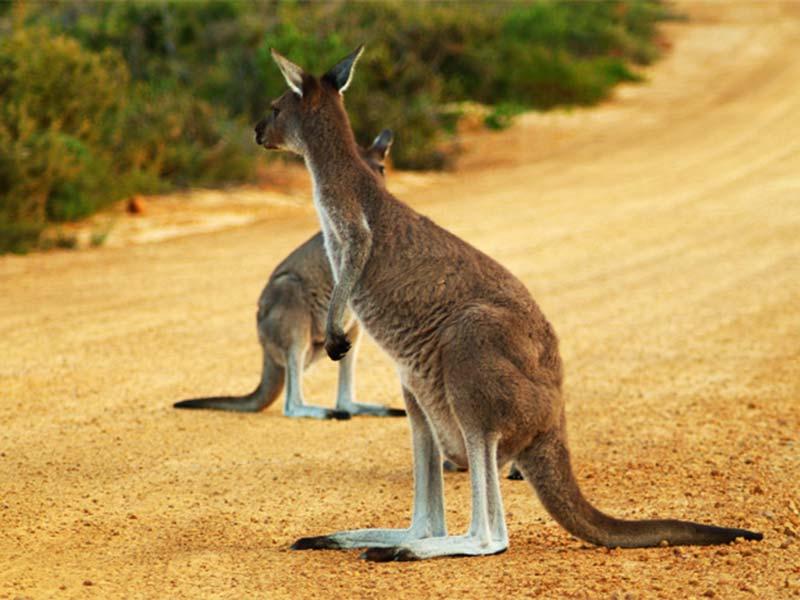 Zwei Kängurus auf der Straße